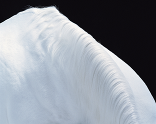 Abstract white horse photo by award winning Association of Photographers professional photographer Tim Flach. Photo copyright of Tim Flach, timflach.com